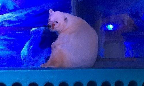 اعتراض به محل زندگی غمگین ترین خرس قطبی دنیا!