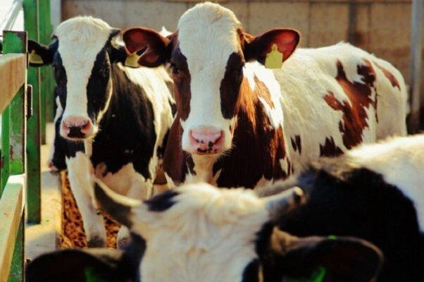 گاوها گروه های دوستی تشکیل می دهند!