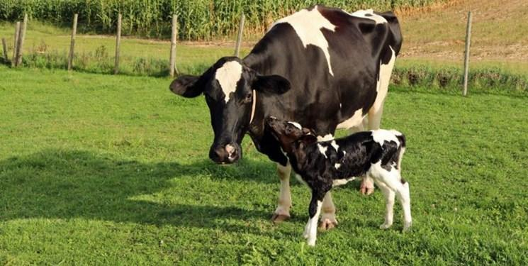 ابراز احساسات خاص گاوها با سروصداهای اختصاصی