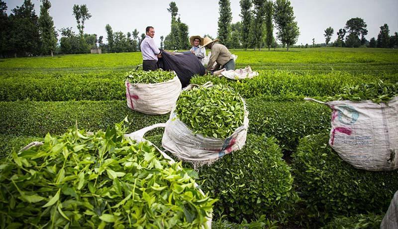رشد 10 درصدی فراوری برگ سبز چای