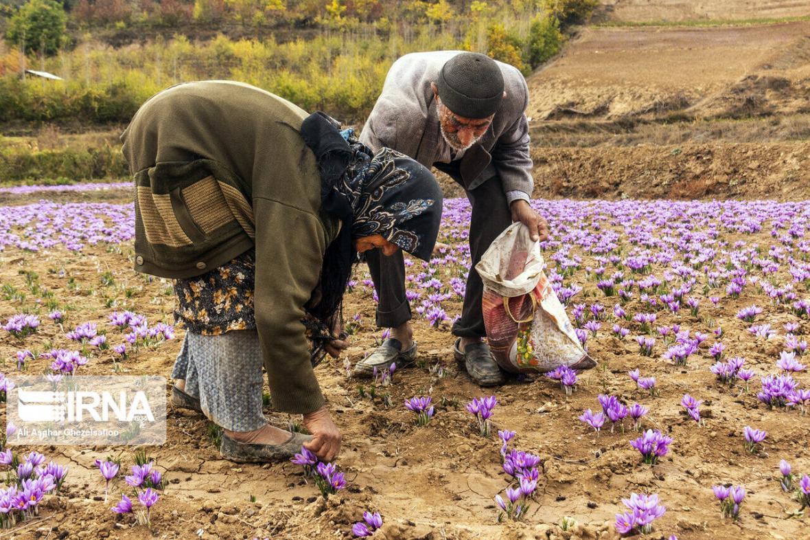 خبرنگاران تولید زعفران در چهارمحال و بختیاری 15 درصد افزایش یافت